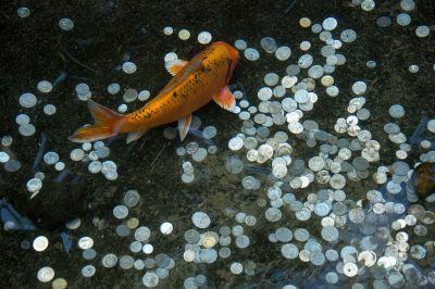 Photo: Koi with coins in a display at the Taronga Zoo.