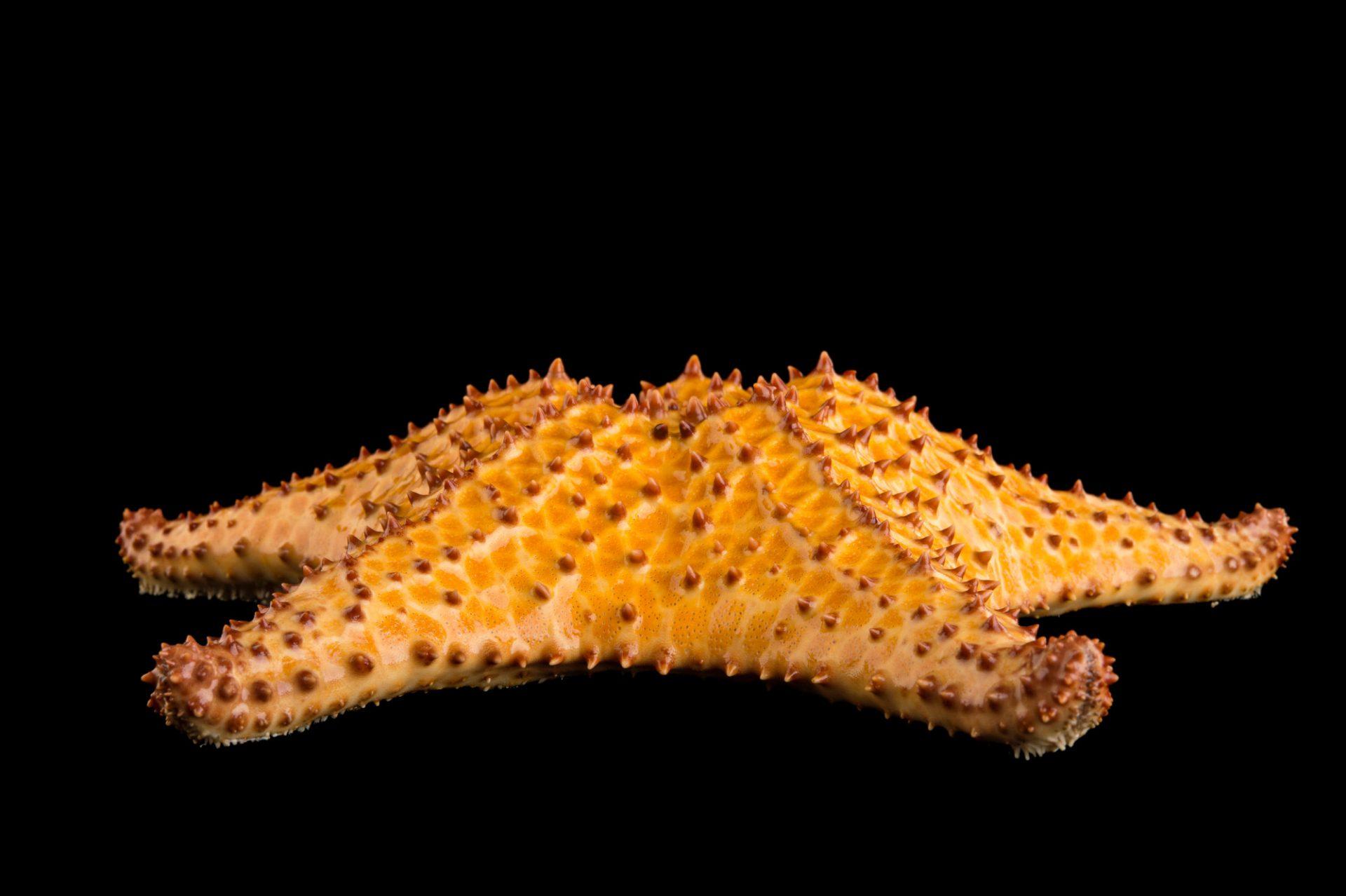 A red cushion sea star, Oreaster reticulatus.
