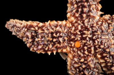 Common sea star, Asterias forbesi, at the Sedge Island Natural Resource Education Center in the Sedge Islands Marine Conservation Zone, Barnegat Bay, New Jersey.