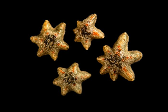 Photo: Asterina starfish (Asterina sp.) at the Moscow Zoo.