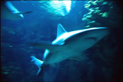 Photo: A shark swims at the aquarium at the Henry Doorly Zoo in Omaha, NE. Note: This original is sharp and good, high-resolution scans are available.
