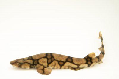 Picture of a chain catshark (Scyliorhinus retifer) at Omaha's Henry Doorly Zoo and Aquarium.