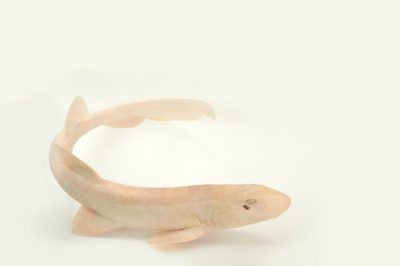 Picture of a whitespotted bamboo shark (Chiloscyllium plagiosum) at Omaha's Henry Doorly Zoo and Aquarium.