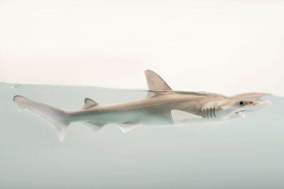 Photo: A bonnethead shark or shovelhead, Sphyrna tiburo, at Shark Reef Aquarium.
