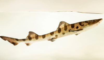 Photo: Leopard shark (Triakis semifasciata) photographed at Downtown Aquarium in Denver, Colorado.