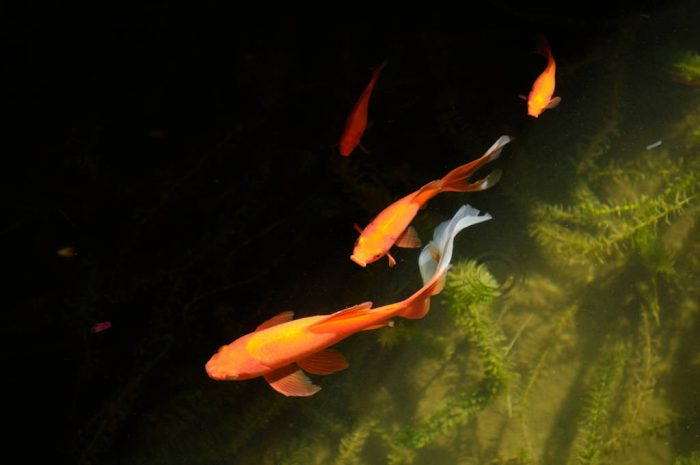 Photo: Fantail goldfish in Raleigh, North Carolina.