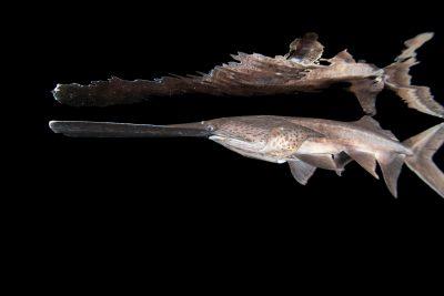 Photo: A spoonbill paddlefish (Polyodon spathula) at Gavins Point National Fish Hatchery, Yankton, South Dakota.