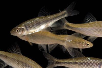 Photo: Black spotfin shiners (Notropis atrocaudalis) and redfin shiners (Notropis umbratilis) at Gavins Point National Fish Hatchery, Yankton, South Dakota.