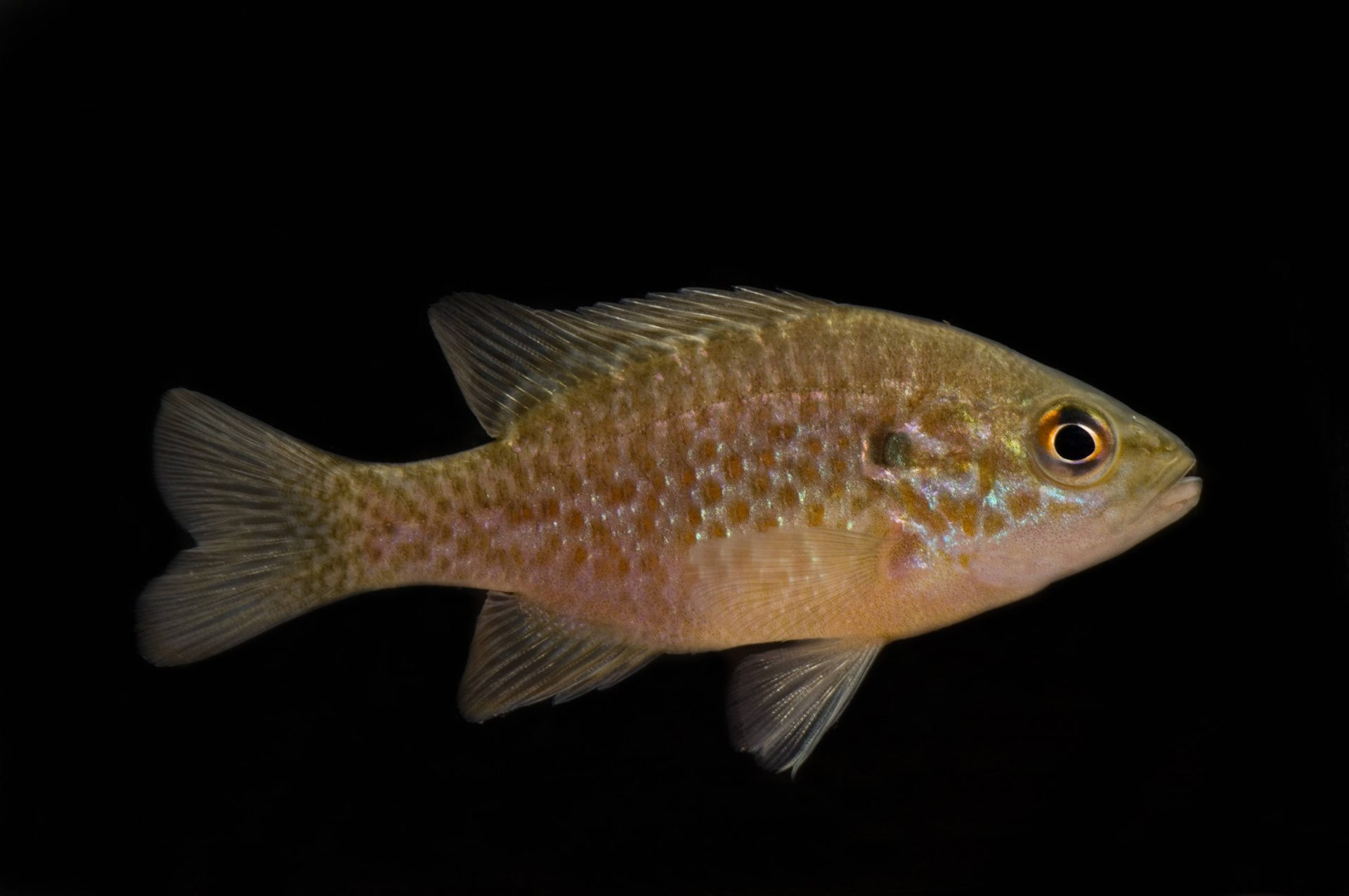 Photo: An orangespotted sunfish (Lepomis humilis) at the Gavins Point National Fish Hatchery, Yankton, South Dakota.