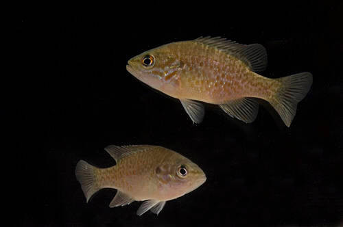 Photo: Orangespotted sunfish (Lepomis humilis) at the Gavins Point National Fish Hatchery, Yankton, South Dakota.