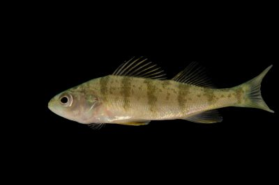 A yellow perch (perca flavescens) at the Gavins Point National Fish Hatchery, Yankton, South Dakota.