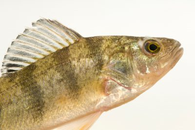 A yellow perch (Perca flavescens) at the Genoa National Fish Hatchery, Wisconsin.