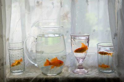 Photo: Brilliant orange goldfish in a pitcher and glasses.