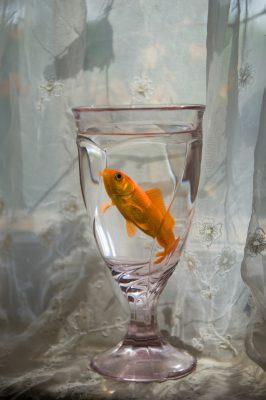 Photo: Brilliant orange goldfish in a glass.