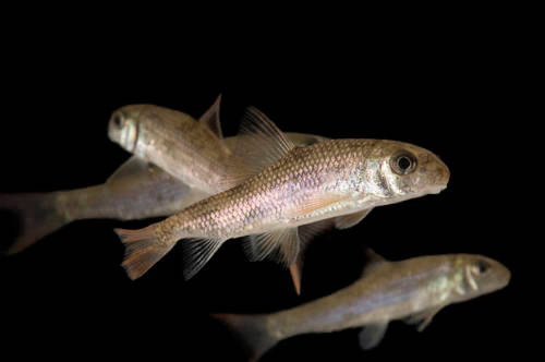 """Sicklefin redhorse fish (Moxostoma sp. """"sicklefin redhorse"""") a rare and undescribed species of redhorse found only in the Blue Ridge section of the Little Tennessee River and Hiwassee River. Photographed at Conservation Fisheries, a breeding center for rare native stream fish."""