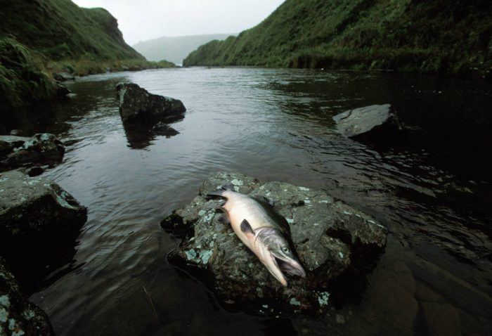 Photo: A dead fish lies on a rock on Adak Island, Alaska.