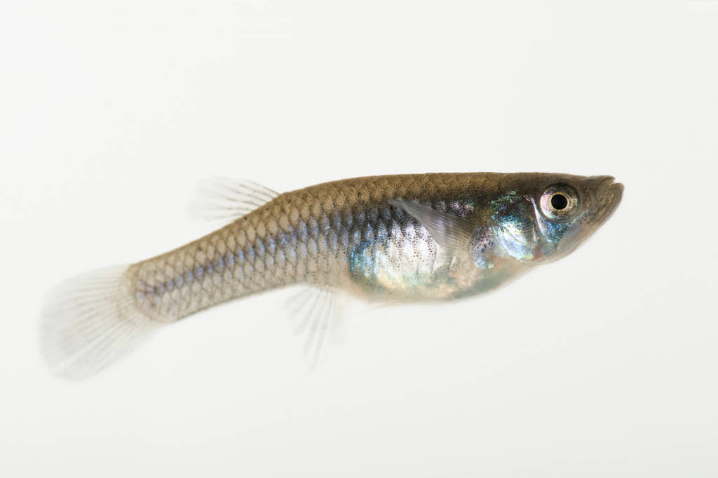 A female mosquitofish (Gambusia affinis) at the Tulsa Zoo, Tulsa, Oklahoma.