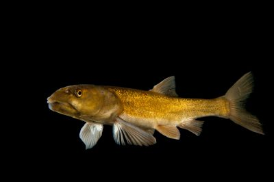 A Colorado pikeminnow (Ptychocheilus lucius) from the Colorado River. (IUCN: Vulnerable, US: Endangered)