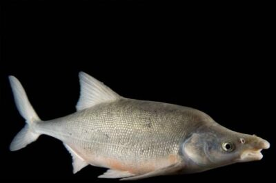 A humpback chub (Gila cypha), from the Colorado River. (US: Endangered; IUCN: Endangered)