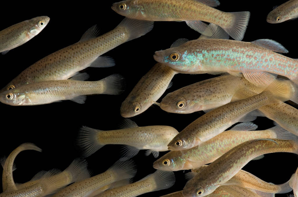 A school of endangered (IUCN) Barrens topminnow (Fundulus julisia) at Conservation Fisheries, a native stream fish breeding center. With only found in the Barrens Plateau in middle Tennessee, these fish are one of the rarest in eastern North America.