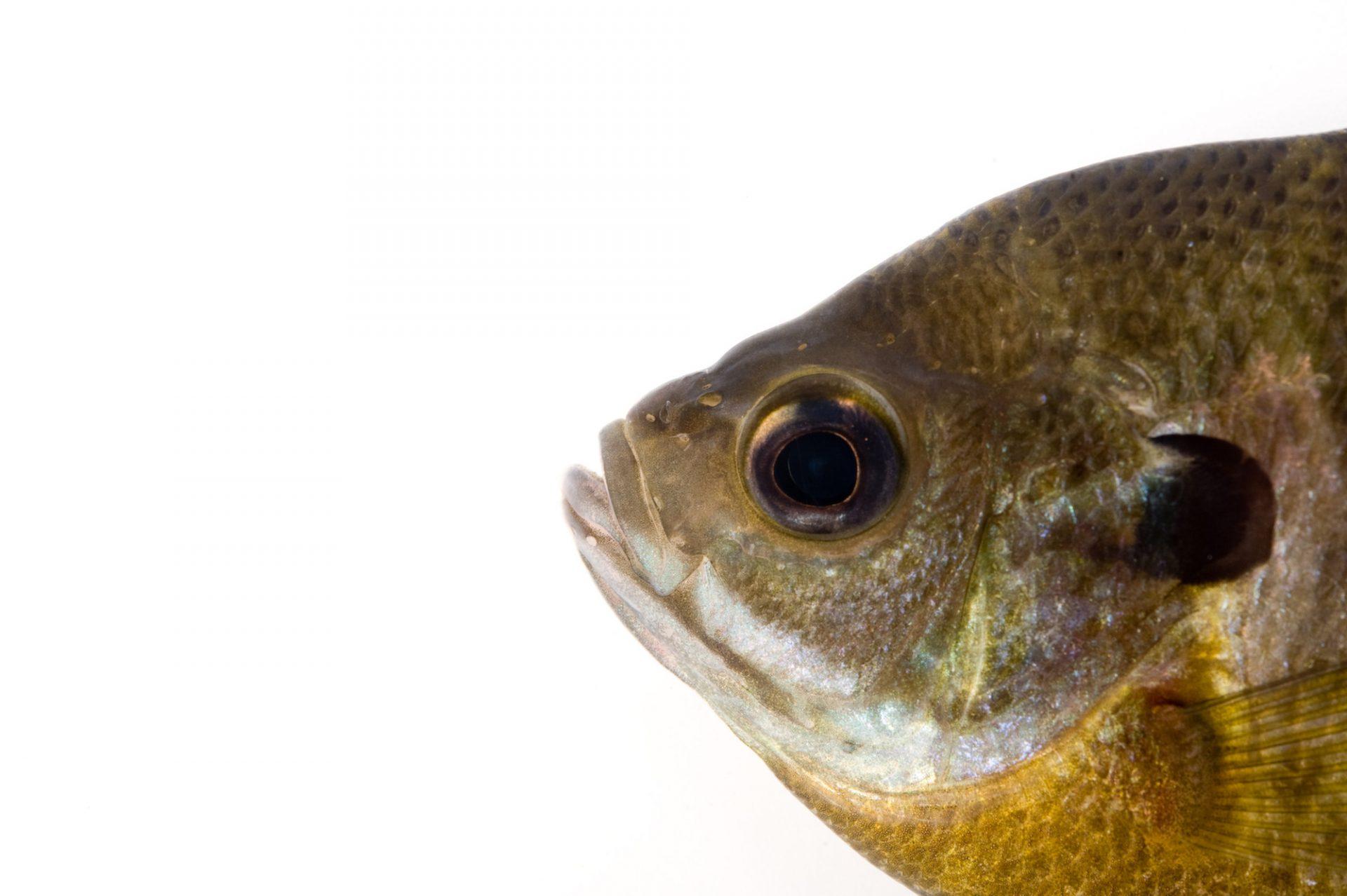 A bluegill (Lepomis macrochirus).