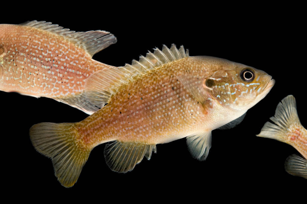 A green sunfish (Lepomis cyanellus) collected from the Conasauga River.