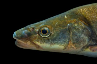A northern pikeminnow (Ptychocheilus oregonensis) collected from the Clark Fork River.