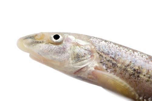 A sturgeon chub (Macrhybopsis gelida).