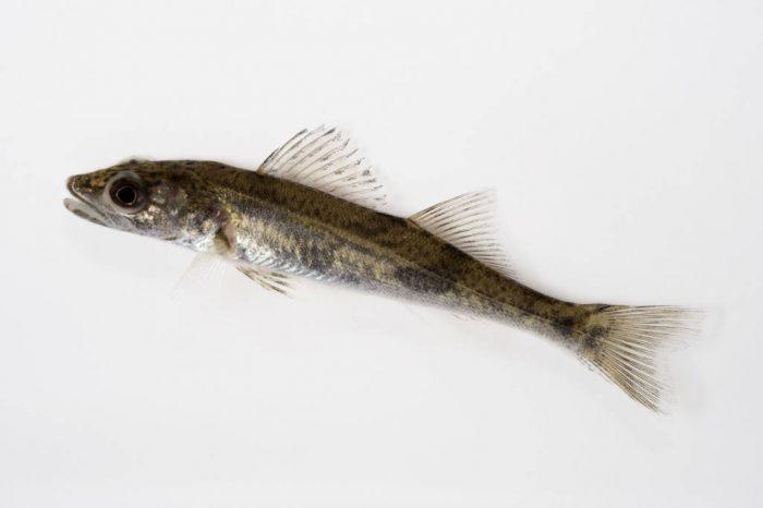 A sauger fish (Sander canadensis).