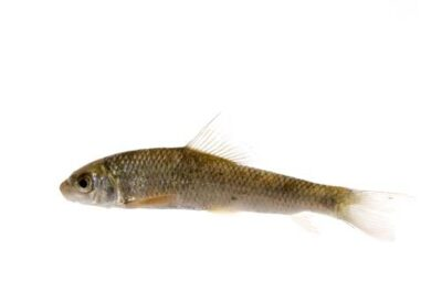 A shorthead redhorse (Moxostoma macrolepidotum).