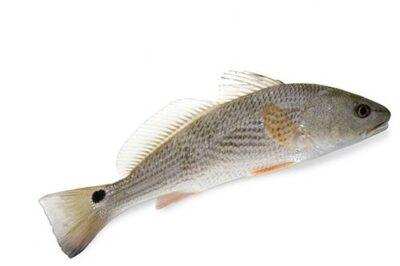 A redfish (Sciaenops ocellatus).