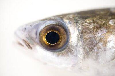 A flathead mullet (Mugil cephalus).