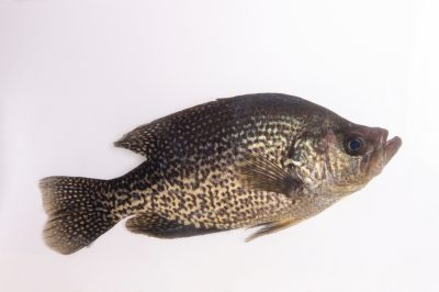 A black crappie (Pomoxis nigromaculatus) at Gavins Point National Fish Hatchery and Aquarium.