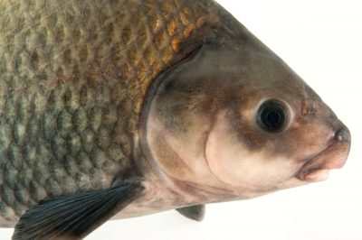 A smallmouth buffalo (Ictiobus bubalus) at Gavins Point National Fish Hatchery and Aquarium.