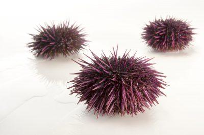 Picture of purple sea urchins (Strongylocentrotus purpuratus) at the National Mississippi River Museum and Aquarium in Dubuque, Iowa.