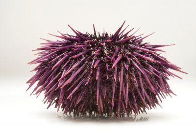 Picture of a purple sea urchin (Strongylocentrotus purpuratus) at the National Mississippi River Museum and Aquarium in Dubuque, Iowa.