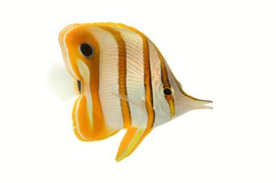 Picture of a copperband butterflyfish (Chelmon rostratus) at Nebraska Aquatic Supply.