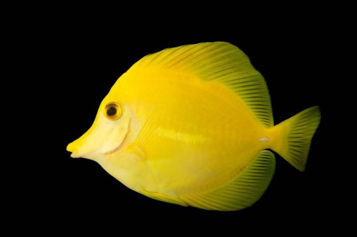 Picture of a yellow tang (Zebrasoma flavescens) at Nebraska Aquatic Supply.