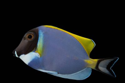 Picture of a powder blue tang also known as a powderblue surgeonfish (Acanthurus leucosternon) at Nebraska Aquatic Supply.