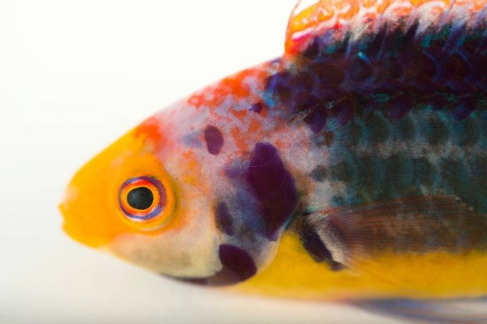 Picture of a red-eye wrasse also known as Solorensis wrasse (Cirrhilabrus solorensis) at Nebraska Aquatic Supply.