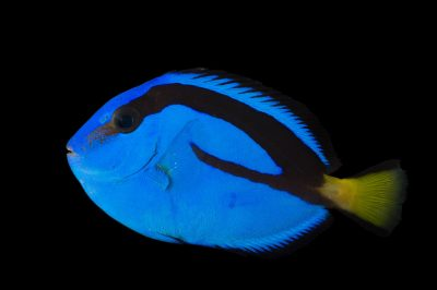 Picture of a palette surgeonfish also known as regal tang, blue tang (Paracanthurus hepatus) at the Nebraska Aquatic Supply.