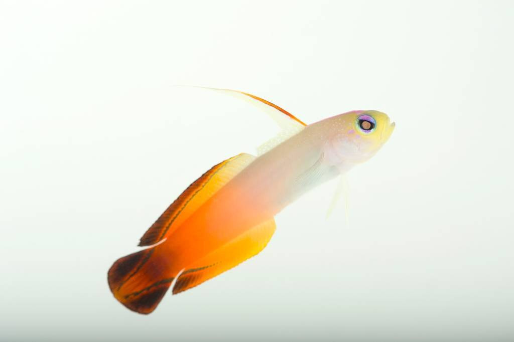 Picture of a fire dartfish aka Red fire goby (Nemateleotris magnifica) at Nebraska Aquatic Supply.