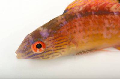 Picture of a blue-margin fairy-wrasse also known as Pyle's wrasse(Cirrhilabrus pylei) at Nebraska Aquatic Supply.