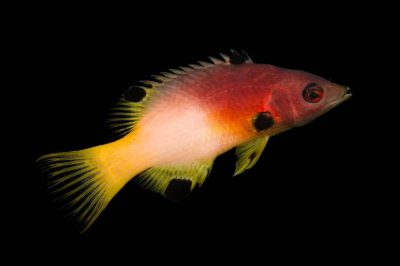 Picture of an axilspot hogfish (Bodianus axillaris) at Nebraska Aquatic Supply.