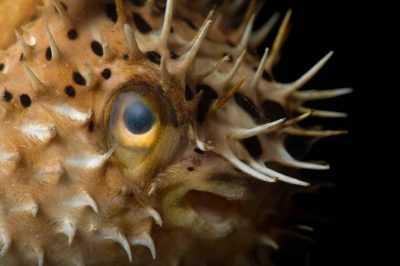 Picture of a longspined porcupinefish also known as a freckled porcupinefish or Porcupine pufferfish (Diodon holocanthus) at the Nebraska Aquatic Supply.