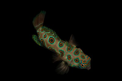 Picture of a picturesque dragonet also known as a Psychedelic mandarinfish, spotted mandarin, target mandarin (Synchiropus picturatus) at Nebraska Aquatic Supply.
