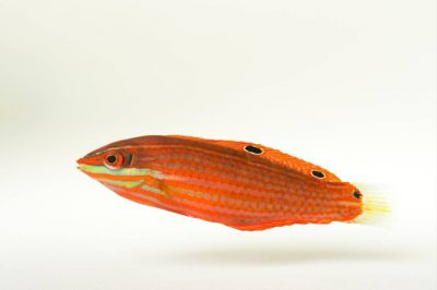 Photo: A red-lined wrasse (Halichoeres biocellatus) at Nebraska Aquatic Supply.