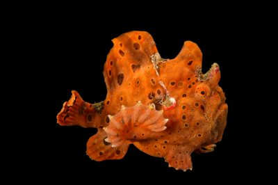 Picture of a painted frogfish (Antennarius pictus) at Omaha's Henry Doorly Zoo and Aquarium.