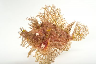 Picture of a weedy scorpionfish (Rhinopias frondosa) at Omaha's Henry Doorly Zoo and Aquarium.
