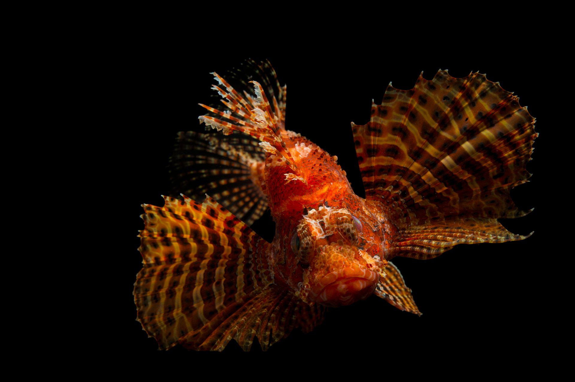 Picture of a fuzzy dwarf lionfish (Dendrochirus brachypterus) at Omaha's Henry Doorly Zoo and Aquarium.